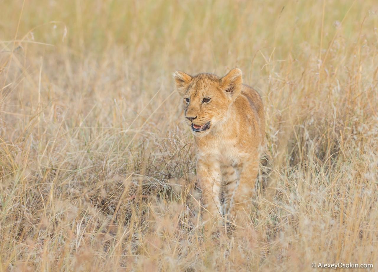 The history of lion Masai Mara 05