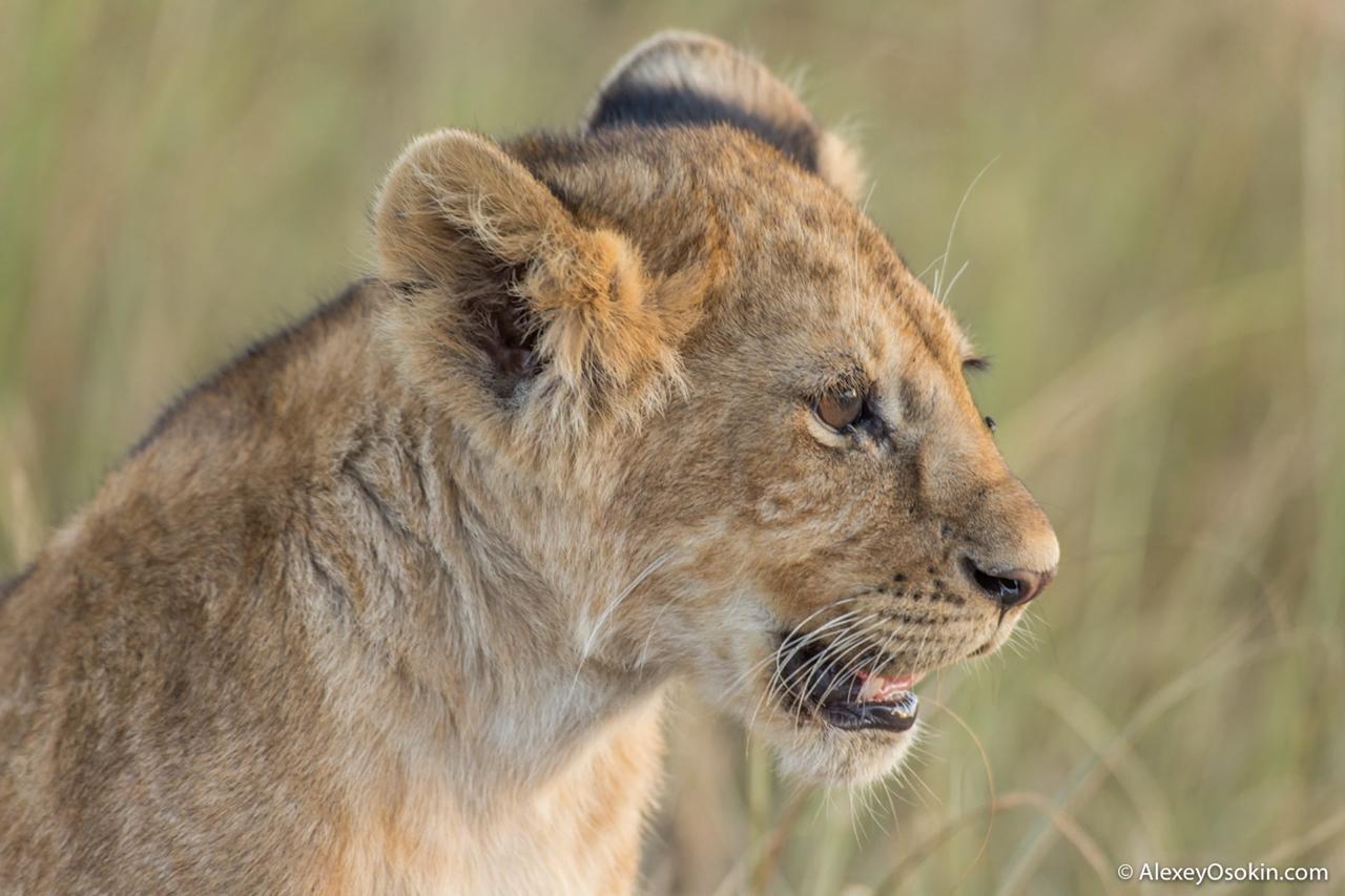 The history of lion Masai Mara 06