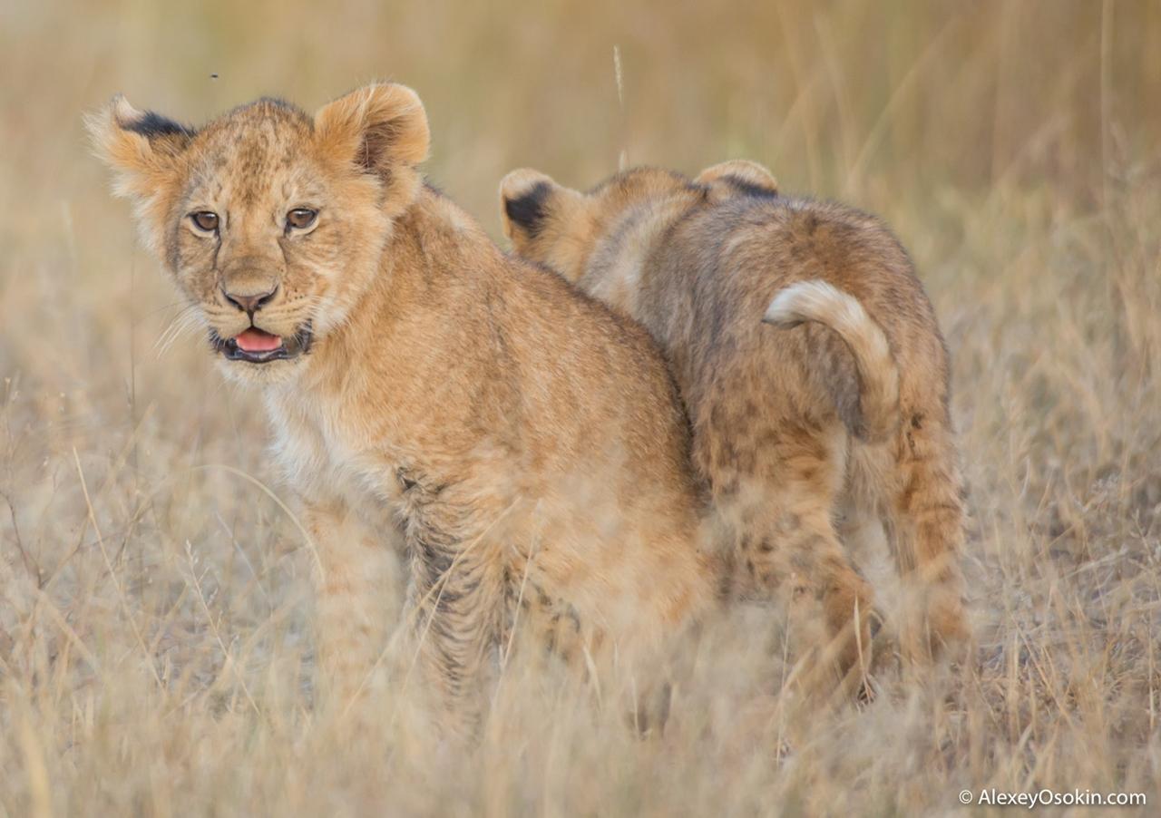 The history of lion Masai Mara 08