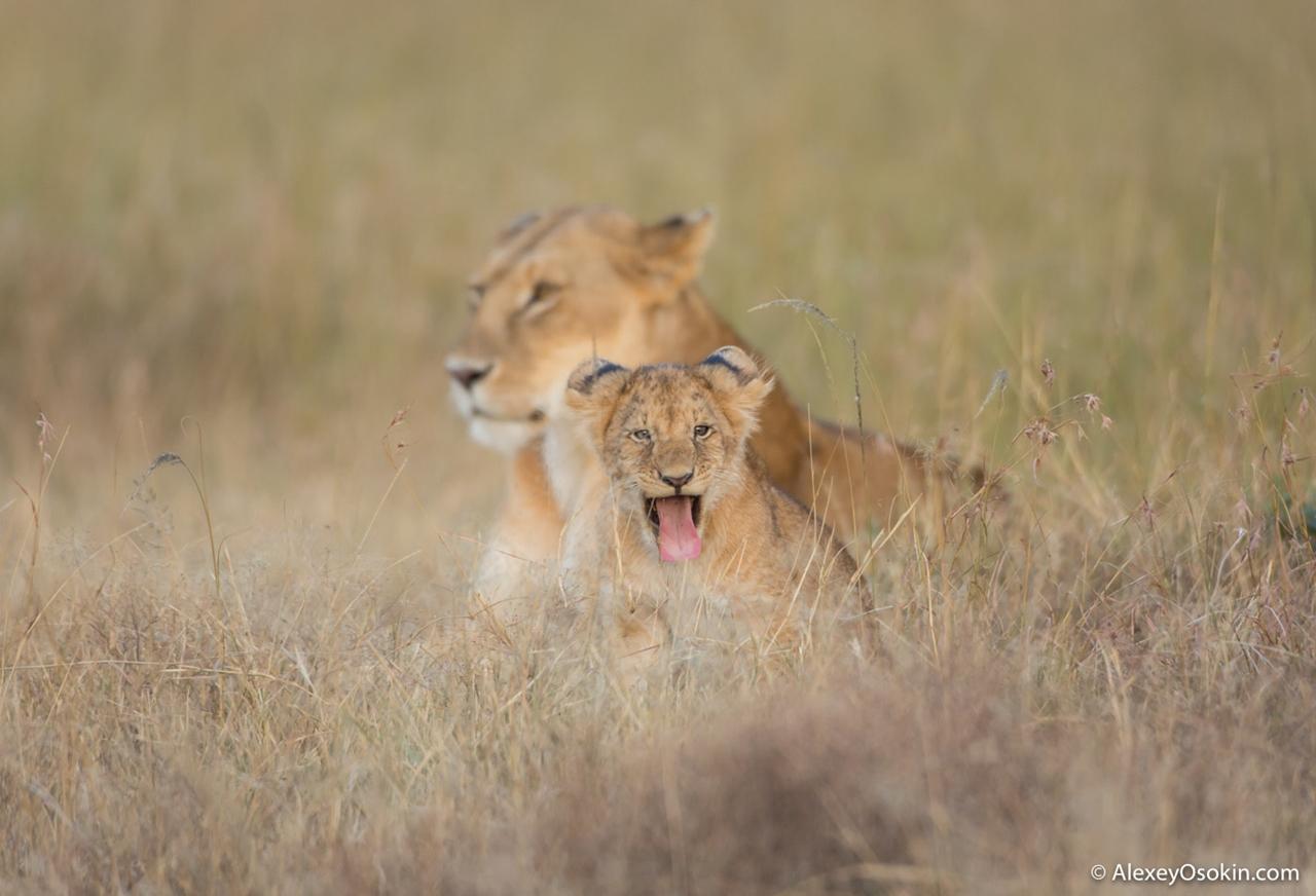 The history of lion Masai Mara 09