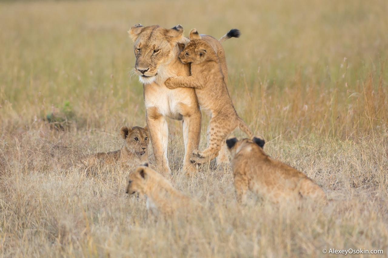 The history of lion Masai Mara 11