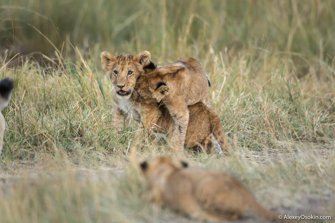 The history of lion Masai Mara 12