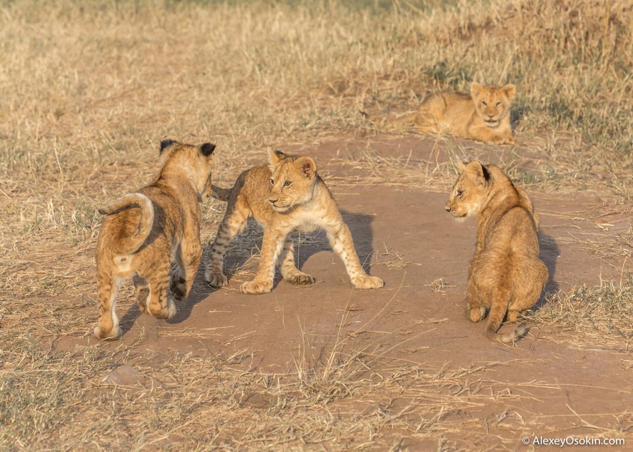 The history of lion Masai Mara 13