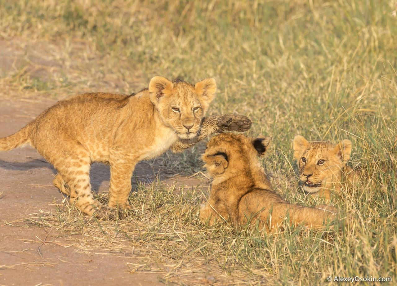 The history of lion Masai Mara 14