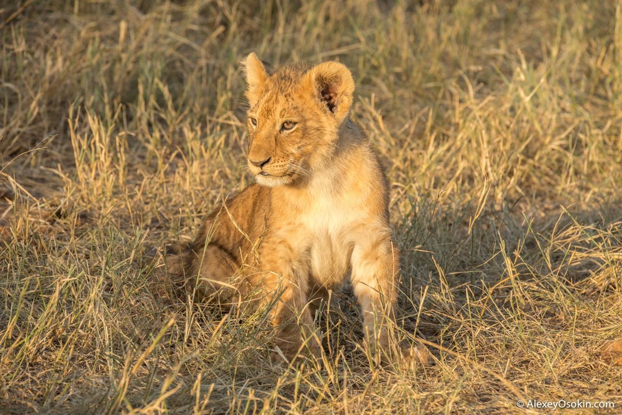 The history of lion Masai Mara 15