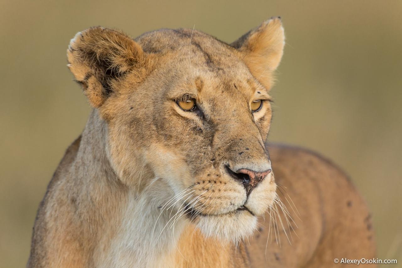 The history of lion Masai Mara 16