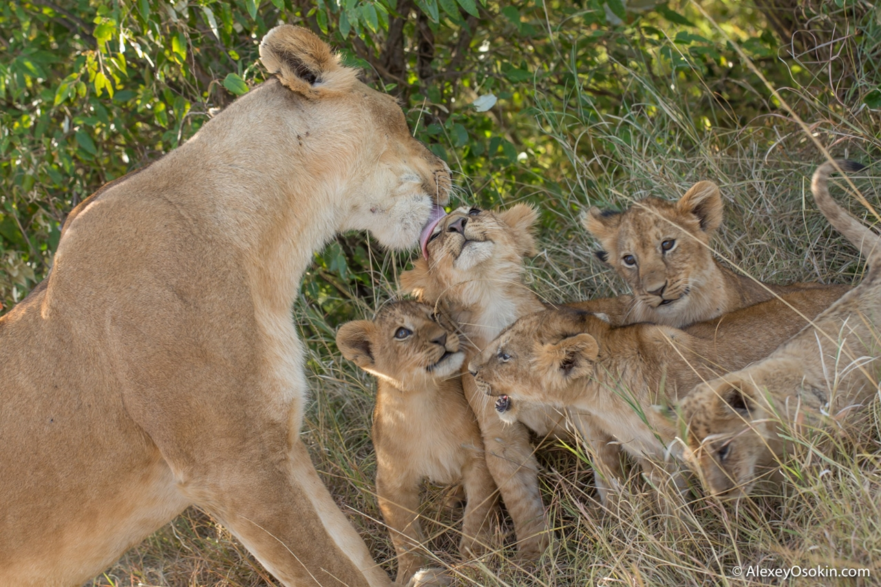 The history of lion Masai Mara 17