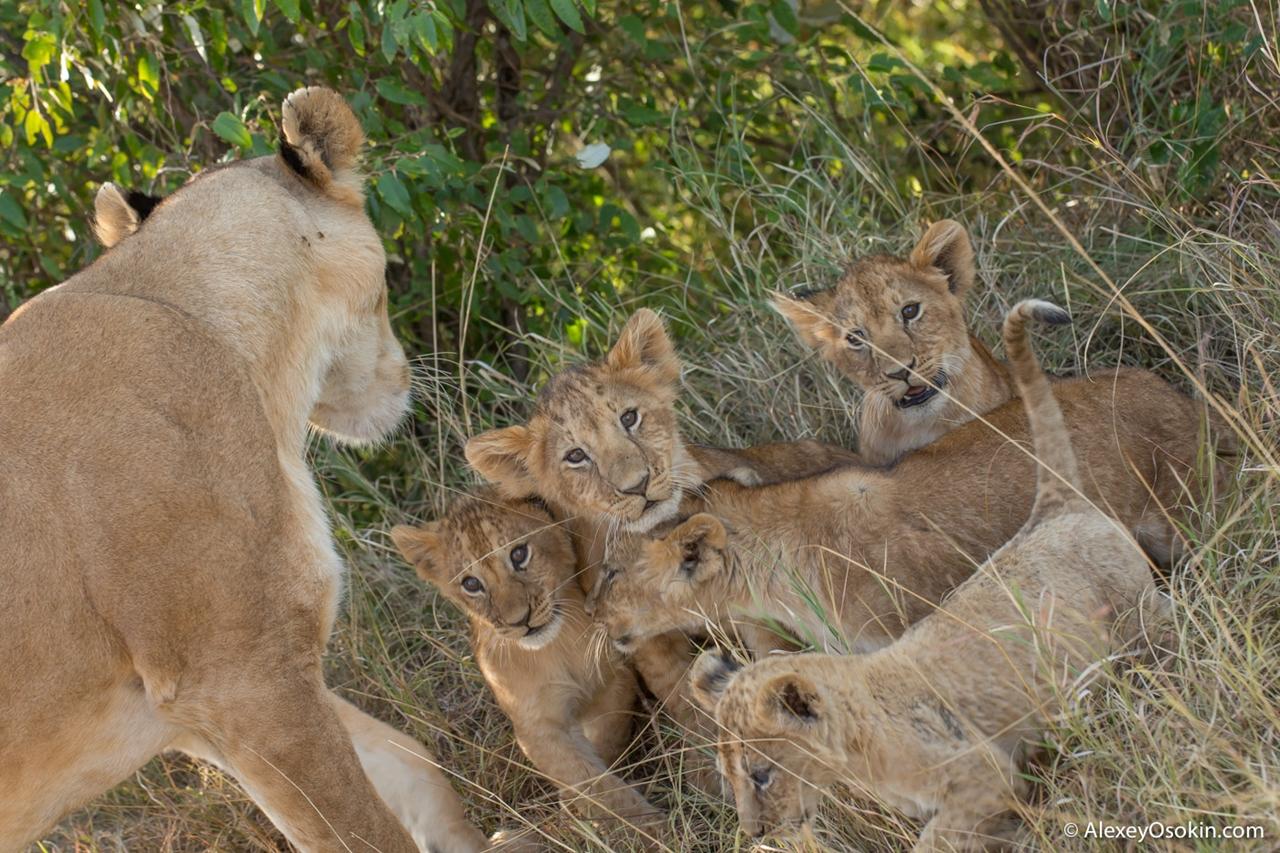 The history of lion Masai Mara 18