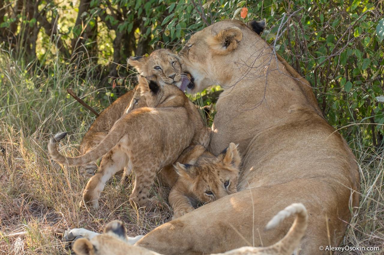 The history of lion Masai Mara 19