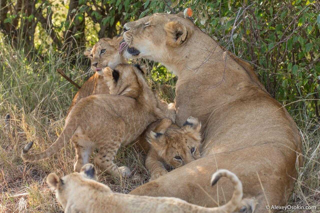 The history of lion Masai Mara 20