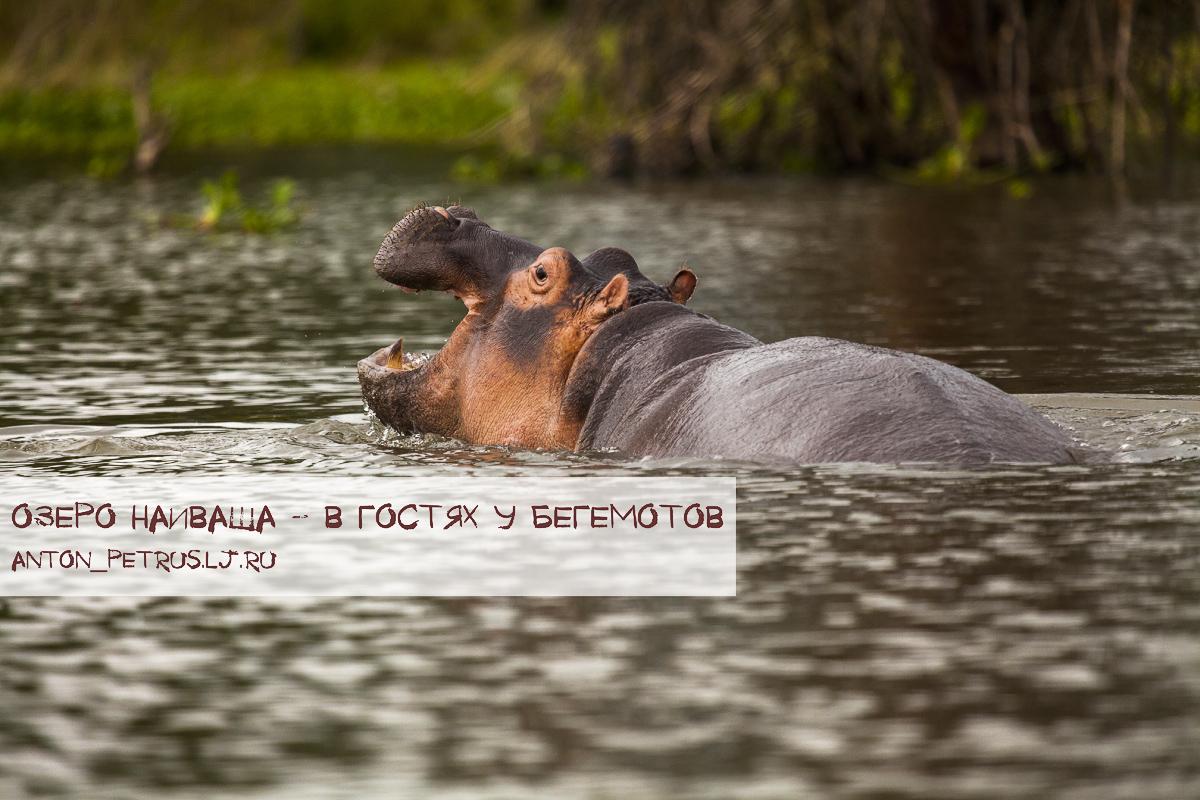 Озеро Наиваша: в гостях у бегемотов
