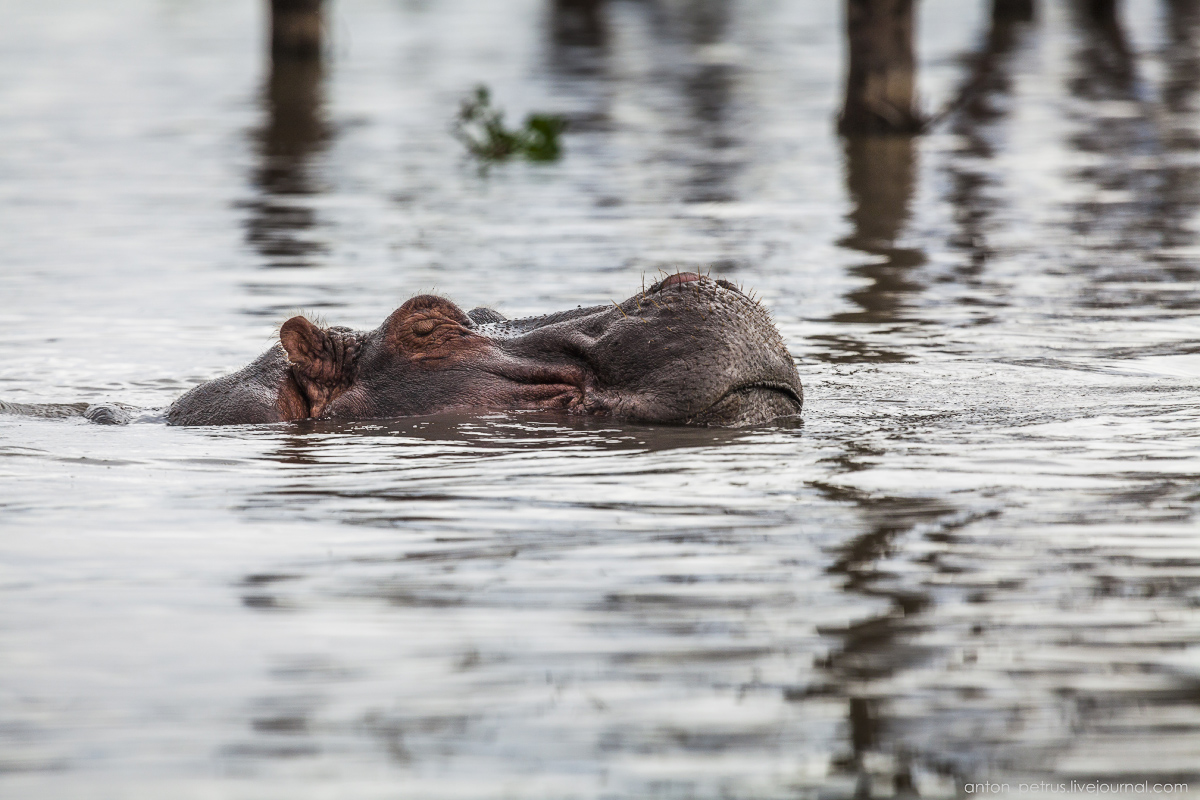 The lake is well suited visiting hippos 02