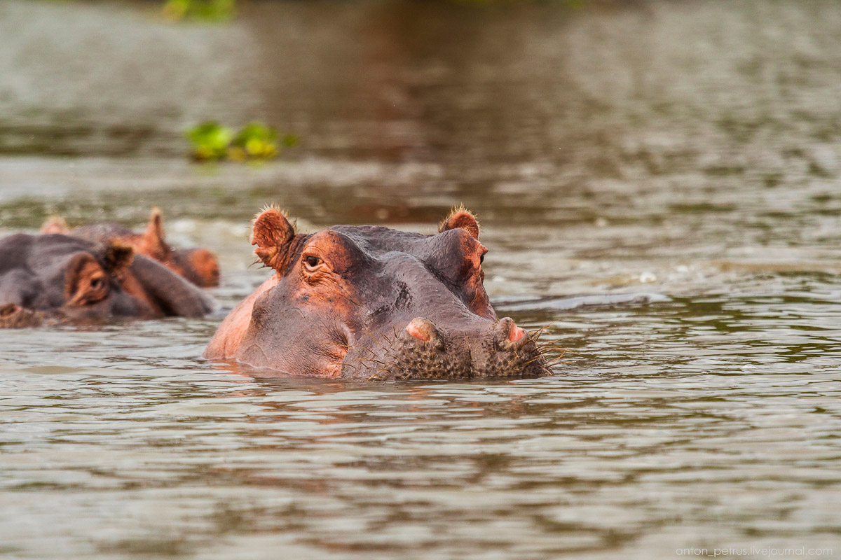 The lake is well suited visiting hippos 08