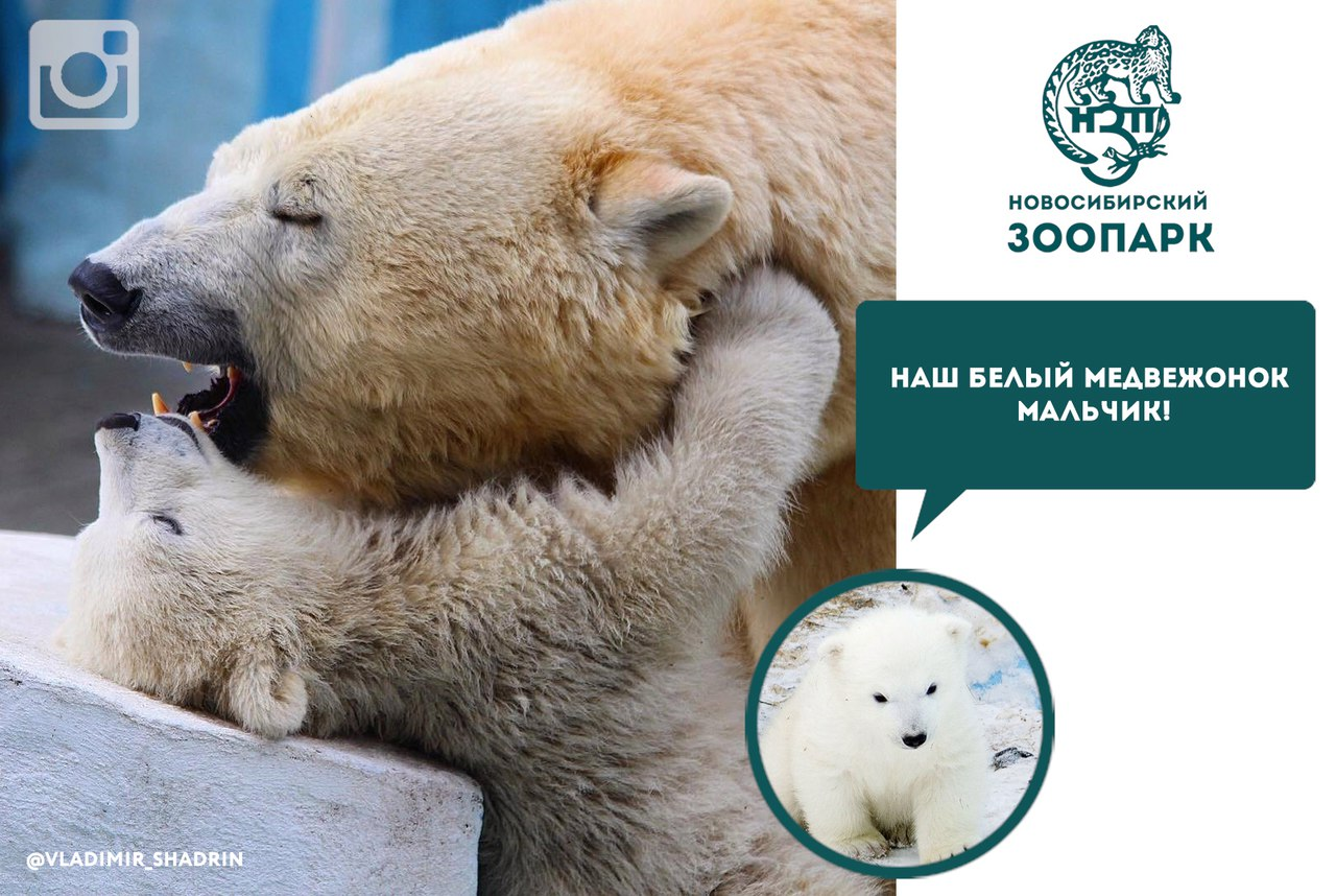 White bear from the zoo of Novosibirsk turned out to be a boy 01