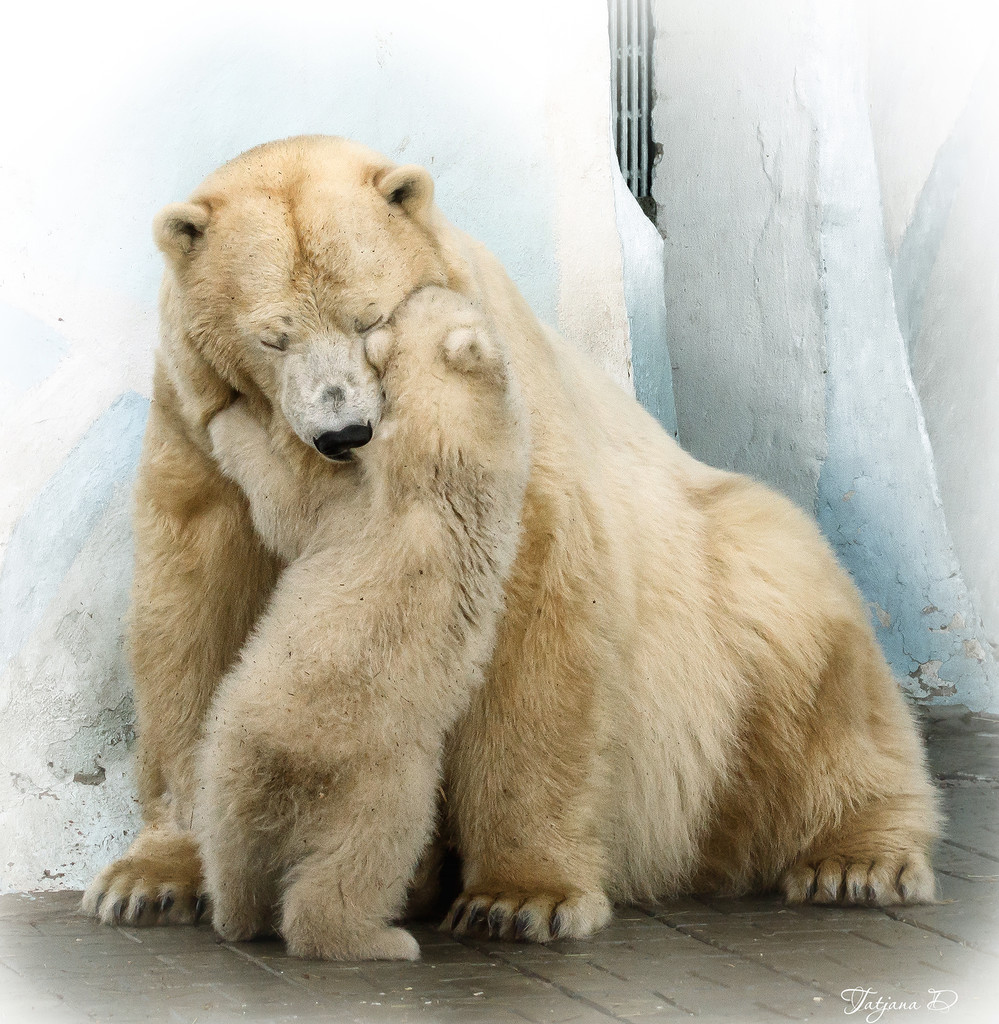 White bear from the zoo of Novosibirsk turned out to be a boy 05