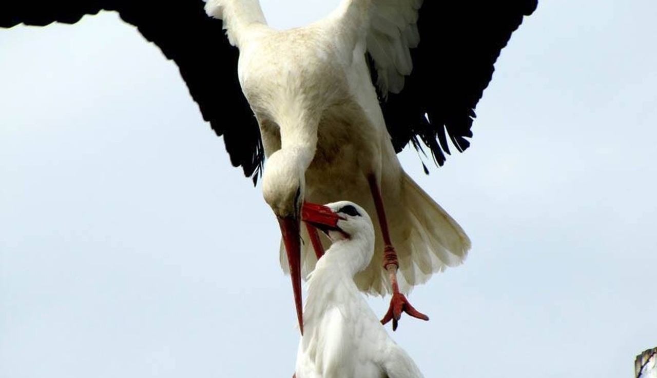 Amazing love story of one pair of storks 01