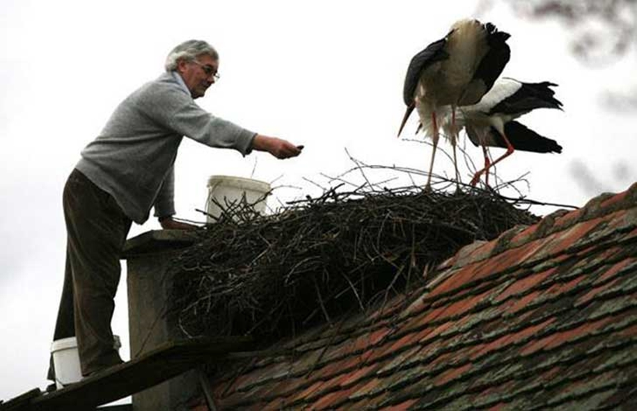 Amazing love story of one pair of storks 05