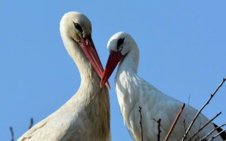 Amazing love story of one pair of storks 09