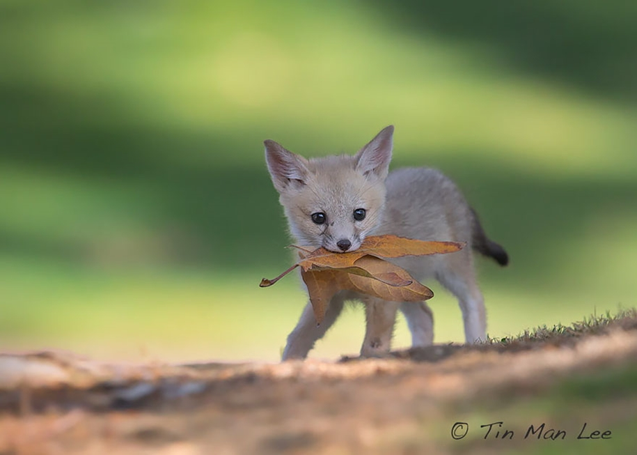 Baby Foxes That Are Too Cute To Be True 01