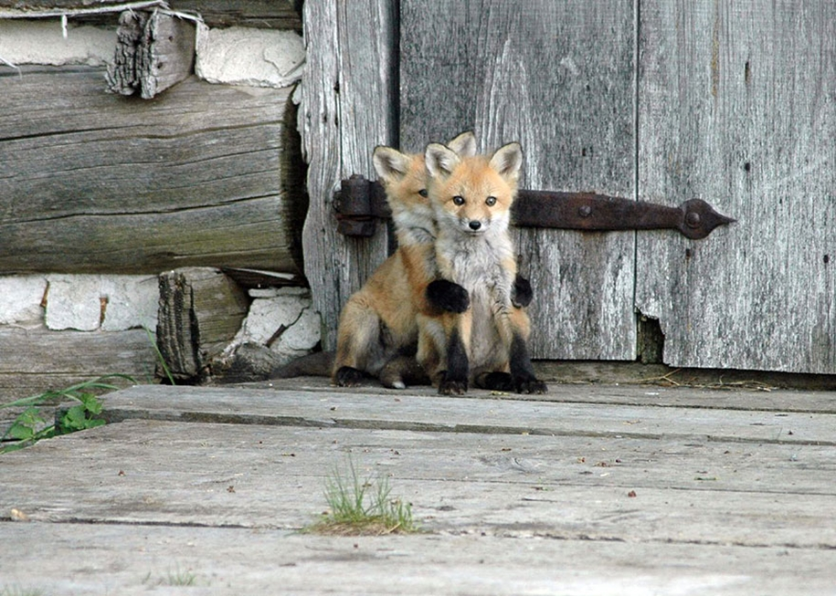 Baby Foxes That Are Too Cute To Be True 02