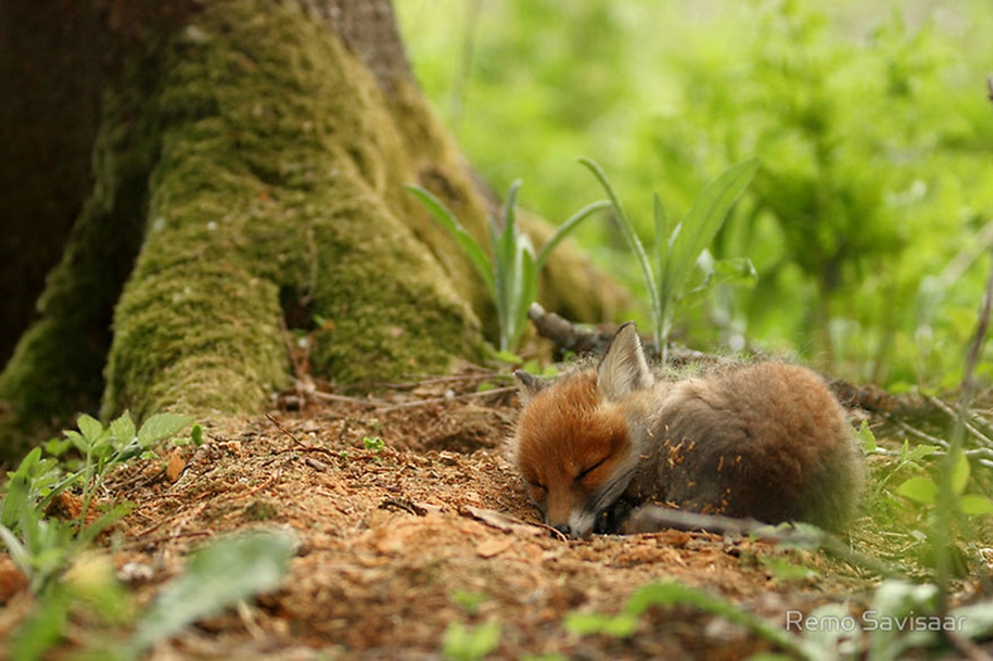 Baby Foxes That Are Too Cute To Be True 03