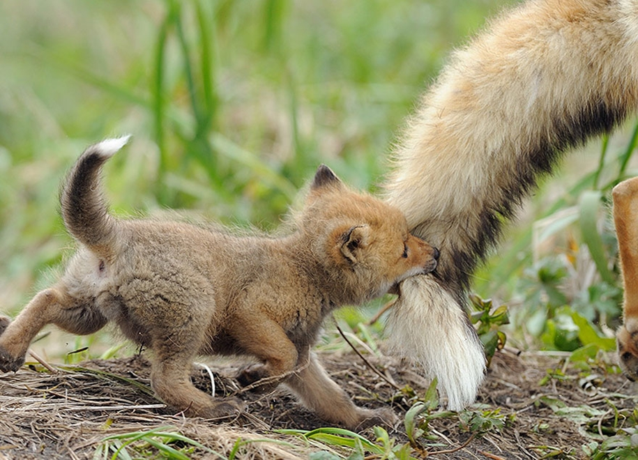 Baby Foxes That Are Too Cute To Be True 04