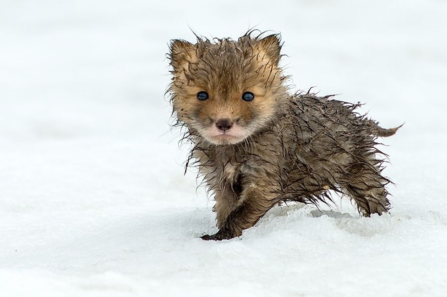 Baby Foxes That Are Too Cute To Be True 05