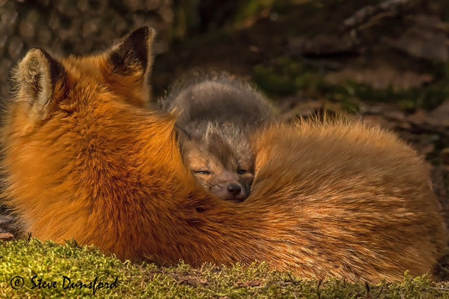 Baby Foxes That Are Too Cute To Be True 07