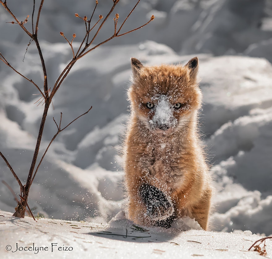 Baby Foxes That Are Too Cute To Be True 09