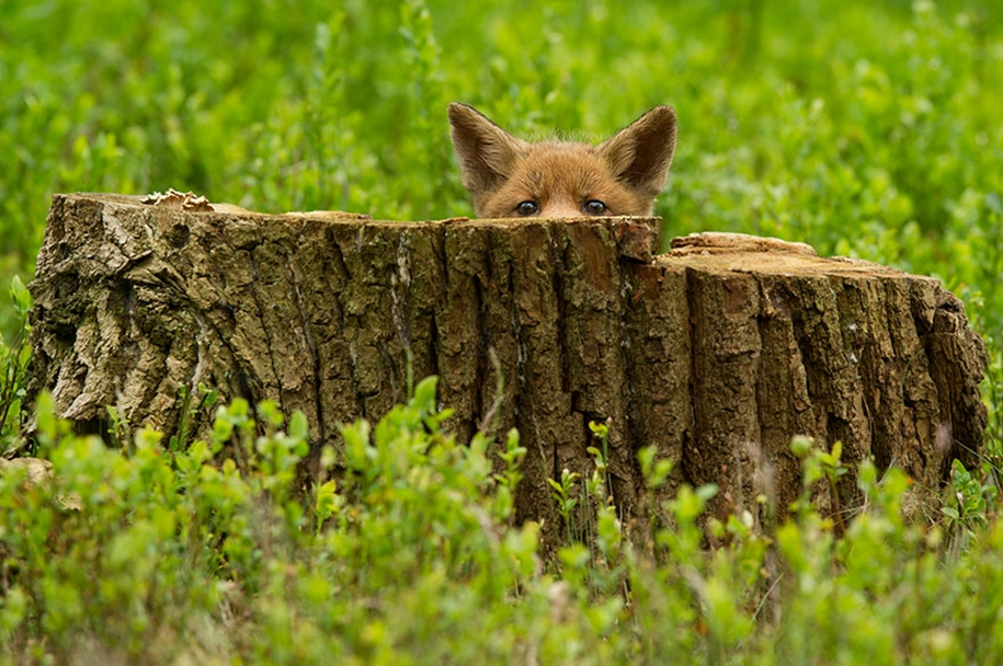 Baby Foxes That Are Too Cute To Be True 10