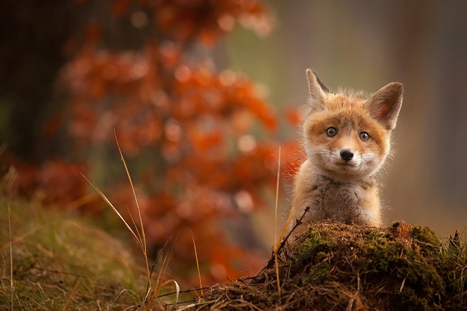 Baby Foxes That Are Too Cute To Be True 11