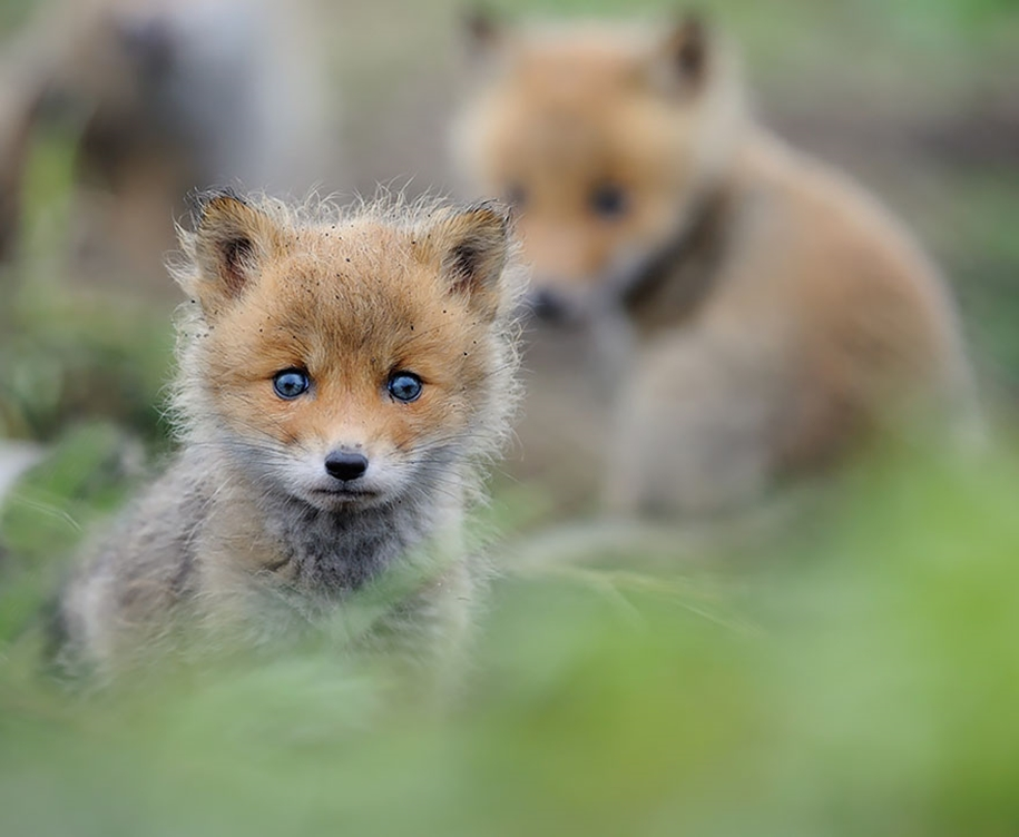 Baby Foxes That Are Too Cute To Be True 12