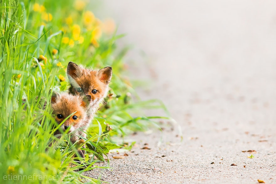 Baby Foxes That Are Too Cute To Be True 13