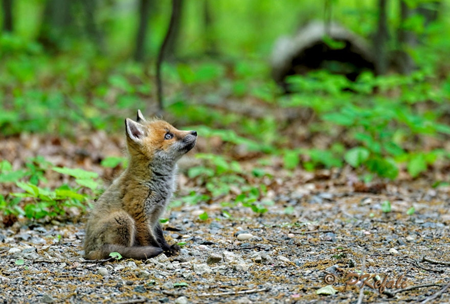 Baby Foxes That Are Too Cute To Be True 15