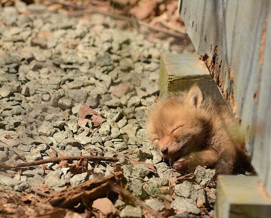 Baby Foxes That Are Too Cute To Be True 17