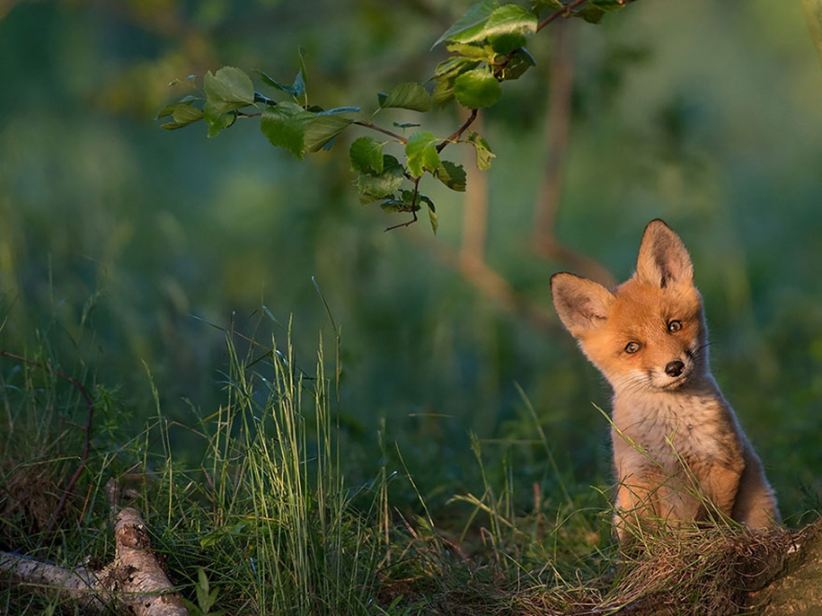Baby Foxes That Are Too Cute To Be True 18