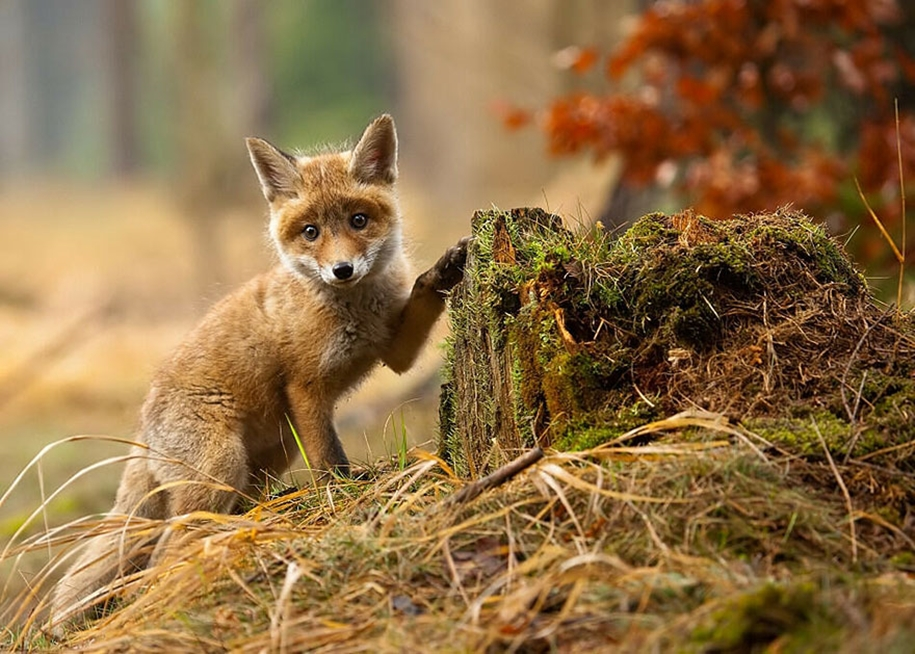 Baby Foxes That Are Too Cute To Be True 20