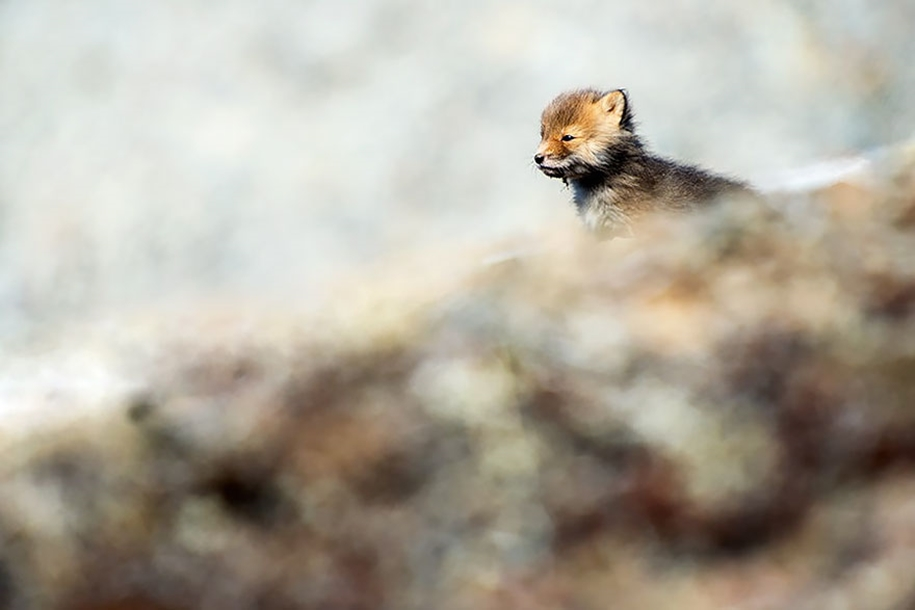 Baby Foxes That Are Too Cute To Be True 21