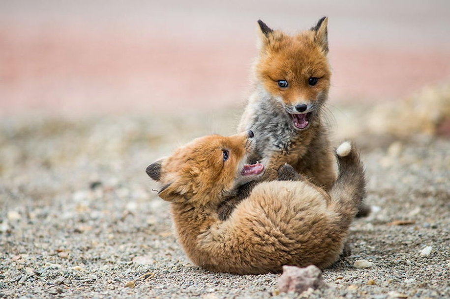 Baby Foxes That Are Too Cute To Be True 22