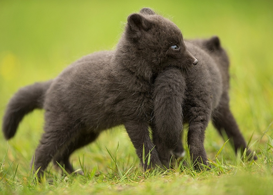 Baby Foxes That Are Too Cute To Be True 23