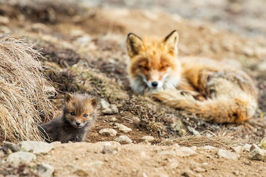 Baby Foxes That Are Too Cute To Be True 24