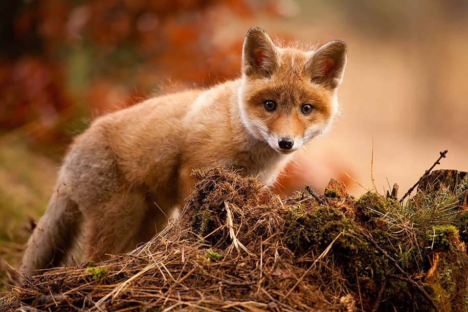 Baby Foxes That Are Too Cute To Be True 25