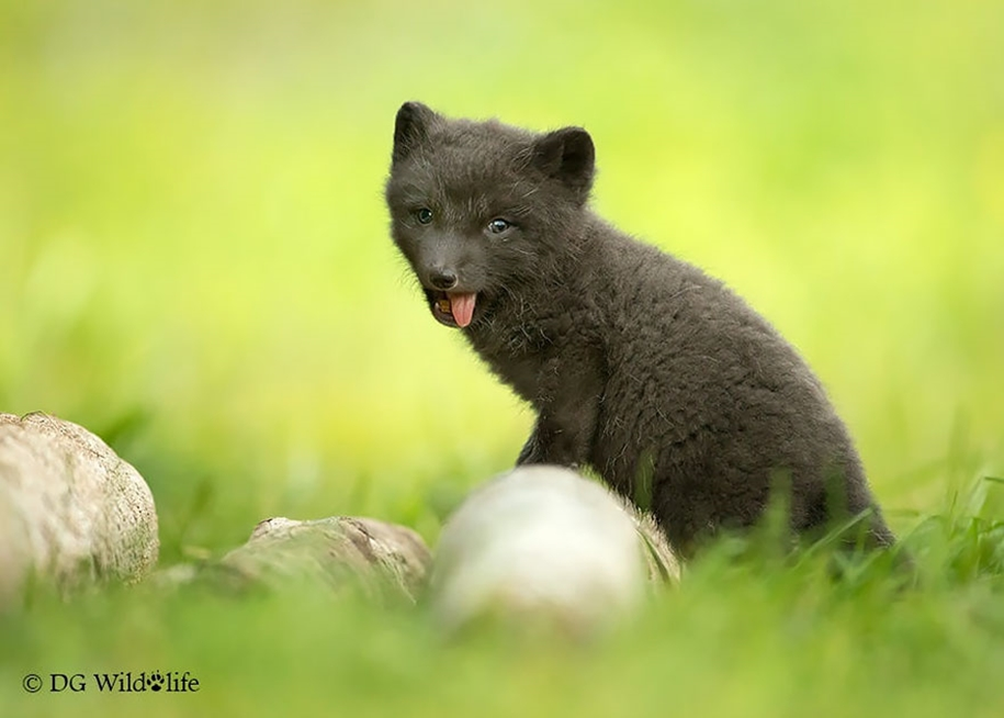 Baby Foxes That Are Too Cute To Be True 26