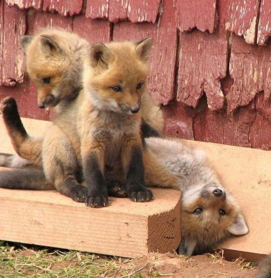 Baby Foxes That Are Too Cute To Be True 28