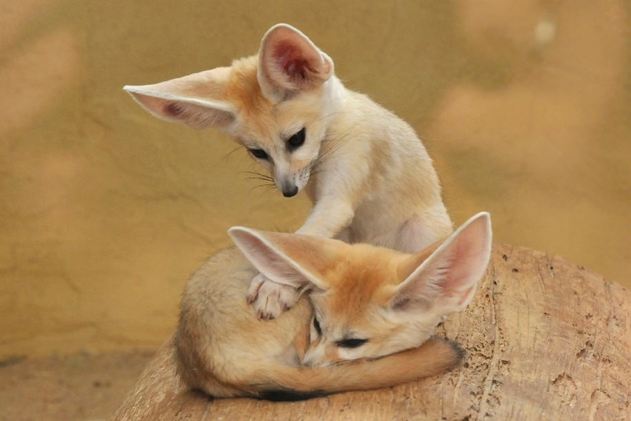 Baby Foxes That Are Too Cute To Be True 30