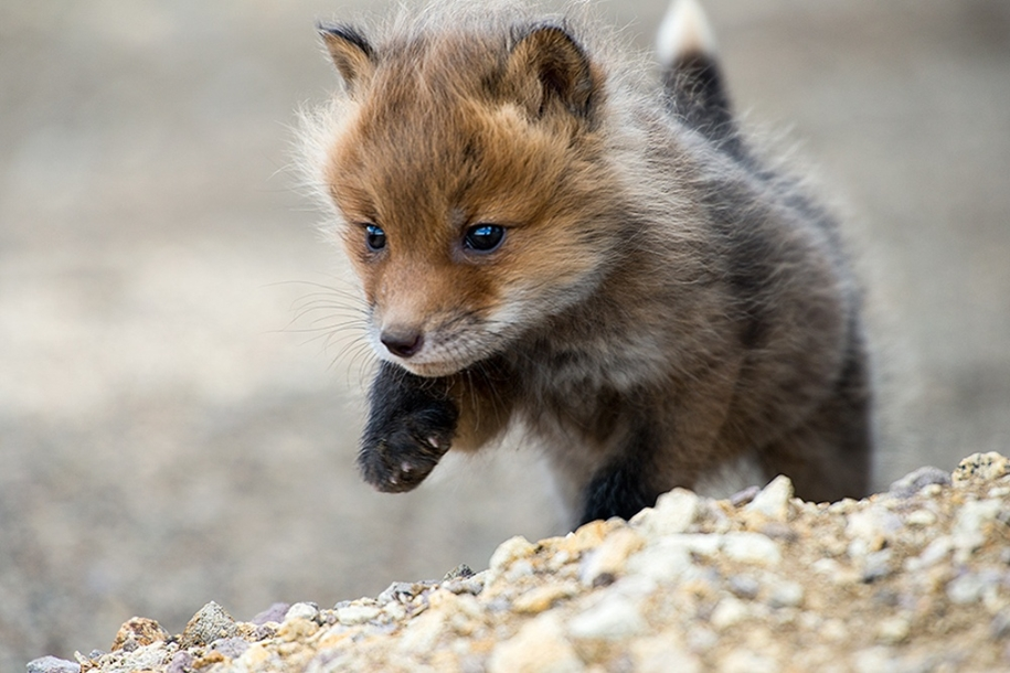 Baby Foxes That Are Too Cute To Be True 32