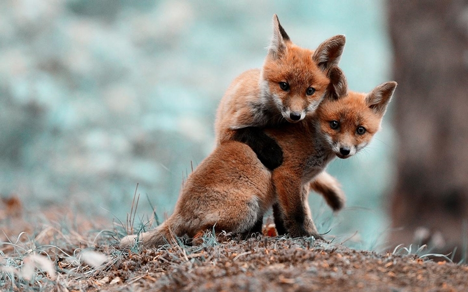 Baby Foxes That Are Too Cute To Be True 34