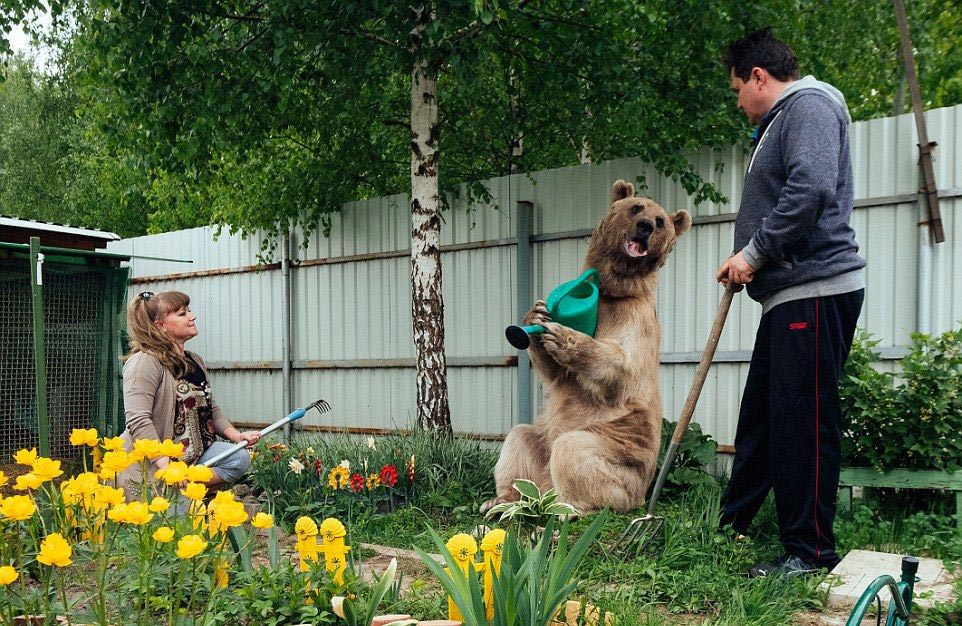 Bear Stepan and his unusual life in a Russian family 04