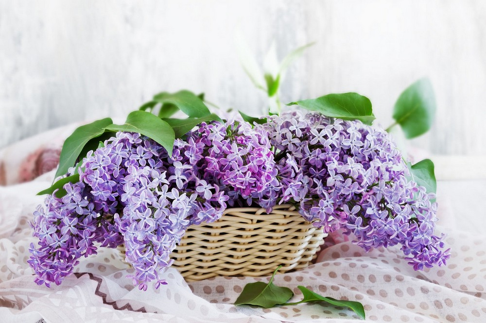 Beautiful lilacs in a still life photos 06