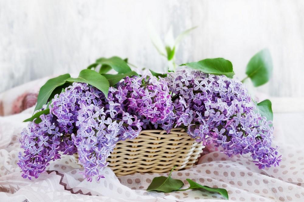 Beautiful lilacs in a still life photos 06
